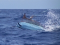 blue-marlin-on-line